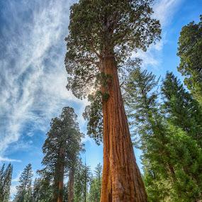 Giant Sequia Tree by Jerome Obille - Nature Up Close Trees & Bushes ( hdr, nature, giant sequoia tree, trees,  )