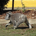 Northern/Queensland Koala