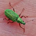 Green Weevil