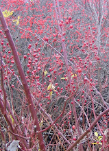 Photo: Multiflora rosehips, Winterberry, and Red Osier stems