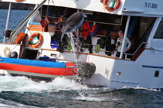 Photo: The dolphins also made an above-water appearance.