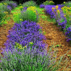 lavender field by Andjela Miljan - Flowers Flowers in the Wild