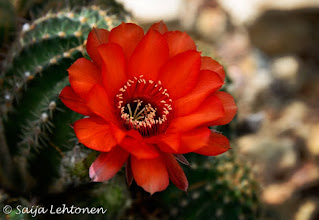 Photo: We had a nice stormy day in Phoenix today..... It was a super windy day with dust blowing, strong enough gusts of wind to rip the roofs off a few houses and in places the rain came down in buckets.... tomorrow will be back to 96F & to 100F by Mother's Day.  Saija Lehtonen Photography  #CactusFlower #Cactus #Arizona #Southwest #Nature #Photography