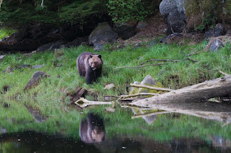 Photo: Large bear walking along the shore