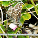 Two-banded Checkered Skipper