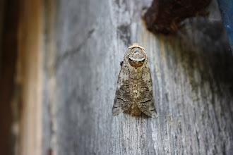 Photo: Cossus cossus    Lepidoptera > Cossidae