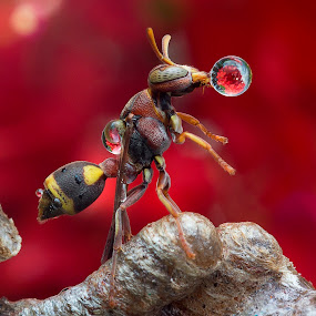 Wasp 160427A by Carrot Lim - Animals Insects & Spiders ( macro, wasp, waterdrop, insect, colours,  )