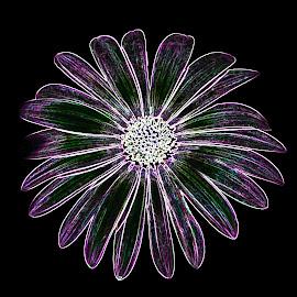 Glowing African Daisy by Dawn Hoehn Hagler - Digital Art Things ( pima county cooperative extension gardens, tucson, african daisy, arizona, garden, photoshop, daisy, flower, glowing edges, digital art )