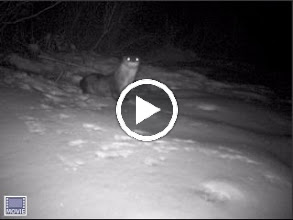 Video: Video of Tisbury Great Pond Otter - 2/14/2010