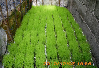 "Photo: The seedlings used by Doc Joey (""high-yielding inbred from Indonesia"")."
