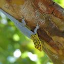 Dwarf Yellow Headed Gecko