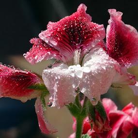 Geranio  bicolore con gocce by Patrizia Emiliani - Flowers Flower Gardens ( macro, gocce, geranio, riflessi, due colori,  )