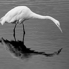 Searching for food by Gérard CHATENET - Black & White Animals