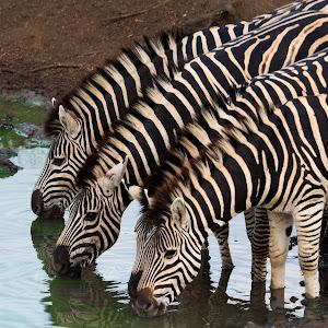 Zebras drinking wo.jpg