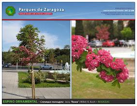 Photo: Espino ornamental