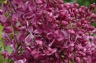 Photo: Purple Glory