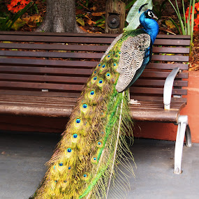 Male Peacock on Park Bench by Emily Fnm3d - Animals Birds ( vertical, bench, park, avian, green, beautiful, wildlife, beauty, birds, multi colored, bird, male animal, turquoise, blue, avairy, vibrant color, outdoors, animals and pets, day, peacock, animal )