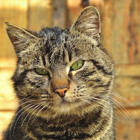 Tiger by Dragutin Vrbanec - Animals - Cats Portraits ( home, cat, winter, cohabitation, portrait )