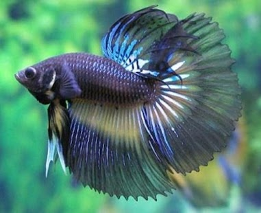 Ornamental fish culture android apps on google play for Siamese fighting fish crossword