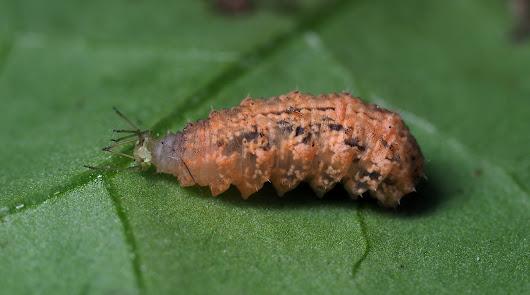 Buenos resultados del sírfido Eupeodes-System contra los pulgones