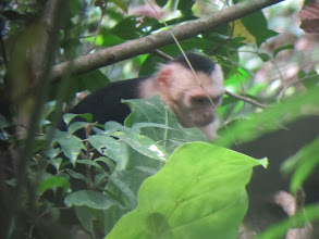 Photo: White faced monkey