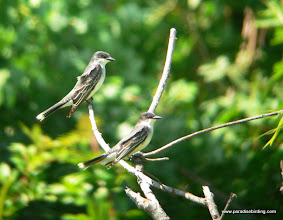 Photo: Eastern Kingbirds, upper Texas Coast
