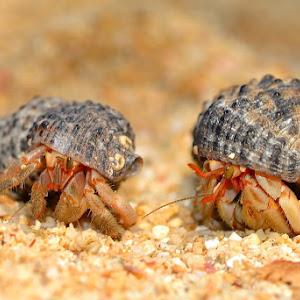 Hermit Crab (Kelomang).jpg