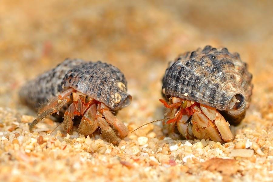 Hermit Crab (Kelomang) by Rudyanto A. Wibisono - Animals Sea Creatures (  )