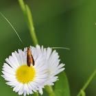 Fairy Longhorn Moth