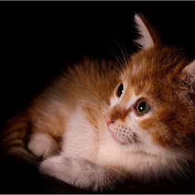 Boudin by Serge Thonon - Animals - Cats Kittens ( cats, kitten, annimal, chat, animal )