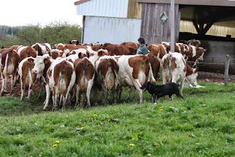 Foto: Vulcain aan het werk met de koeien van zijn baas Alain Clement