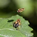 Dwarf drone fly (hoverfly)