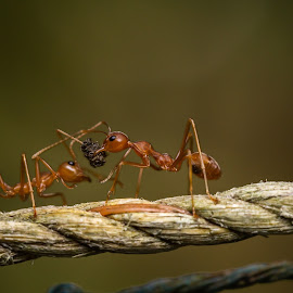 Team work by Prithviraj Shetty - Uncategorized All Uncategorized ( red ant macro macro photography closeup nature insects eyes )