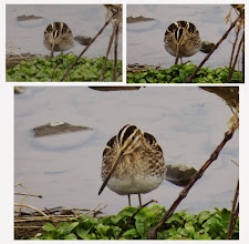 Photo: 撮影者:sayoko sato タシギ タイトル:びっくりした 観察年月日:2014年2月12日 羽数:2羽 場所:浅川高幡橋上流 区分:行動 メッシュ:武蔵府中2K コメント:突然飛んできた鳥が舞い降りた。タシギだった。そのきれいな色合いにみんな興奮した。ここで見たのは確か2度目だと思った。飛んできたのは2羽だったが一緒の所は撮れなかった。