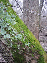 Photo: Mossy maple trunk