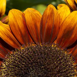 by Sharon Wills - Uncategorized All Uncategorized ( upper half, sunflowers, daisy-like, bright flower, sun flowers, daisy like, asteraceae, colourful, helianthus, hellianthus, summer, colourful flowers, annuus, annual plant, bright flowers, annual flower,  )