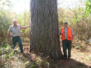 Photo: Next stop: Rusk County.... Here, a resource specialist and District Forester Clint Hays (right) give scale to a giant Loblolly Pine (Pinus taeda).