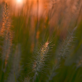 Sprig by Sandra Millsap - Nature Up Close Leaves & Grasses ( grass, green, fountain grass, gold, sunlight, highlight )
