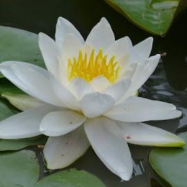 White beauty by Helena Moravusova - Flowers Flower Gardens ( white, flower )