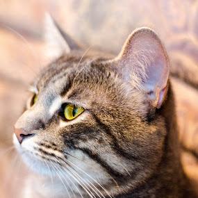 True green eys by Nistorescu Alexandru - Animals - Cats Portraits ( #eyes, #lazy, #likeaboss, #nostress, #green, #cat,  )