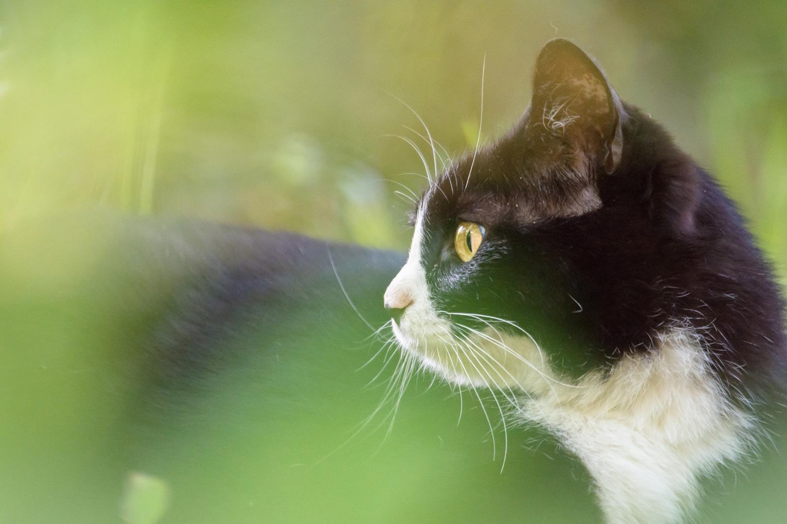 Photo: 茂みの奥の眼差し Eyes that is in the inner part of a bushes.  ひっそりと茂みの奥に光る眼差し そこは木漏れ日そそぐお気に入りの場所 行き交う人をのんびり見ながら ゆっくりと朝のひとときを過ごす  Stray cat. (ノラ猫)  #cooljapan #365cooljapanmay #straycat #cat #sigma #kawaii  Nikon D7200 SIGMA APO 50-500mm F5-6.3 DG OS HSM [ Day358, May 5th ] (4枚追加:Added 4 photo)