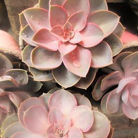 Echeveria Succulent vetplant by Redski Pictures - Nature Up Close Other plants ( nature, plants, pink, vetplant, echeveria succulent,  )