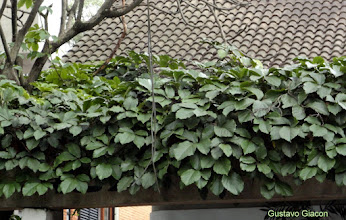 Photo: Trepadeira castanha (Tetrastigma voinierianum)