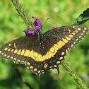 Costa Rican Black Swallowtail
