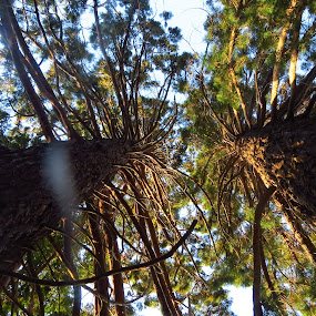 Sequoia Standing  by Russell Benington - Nature Up Close Trees & Bushes ( low angle, sequoia, trees, sunlight, evergreen,  )