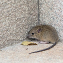 Muroidea 鼠