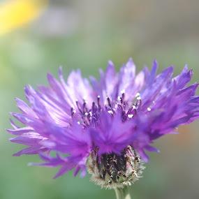 Blue Flower by Pramesh Pokharel - Nature Up Close Flowers - 2011-2013 ( nicest, blue, nilo, beautiful, nice, good, cute, flowers, flower )