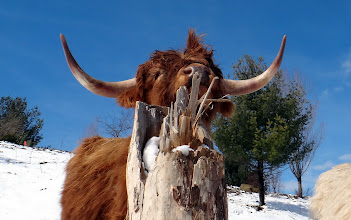 Photo: Ah, that's the spot! Scottish Highland bull Willie works local scratching post...#inmag