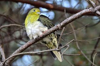 Photo: 撮影者:村山和夫 アオバト タイトル:アオバト現る 観察年月日:2014年11月16日 羽数:1羽 場所:片倉の集いの森公園 区分:希少 メッシュ:八王子6G コメント:上を見上げたら距離5メートルの至近距離にアオバトが止まっていました。集いの森で出会ったのは初めてです。寒さの為か、羽を膨らませていました。