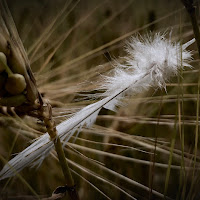 Piuma nel campo di grano di